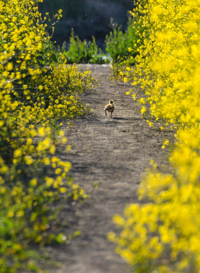 Goose Chick running between yellow flowers